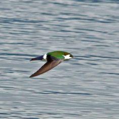 Green Swallow