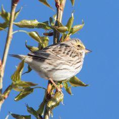Savannah Sparrow Photo by Don Delaney