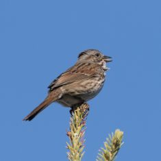 Song Sparrow Photo by Don Delany