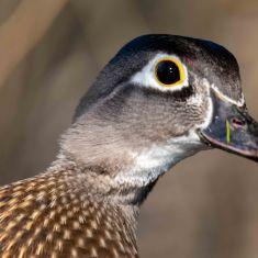 Female Wood Duck Photo by Ross MacDonald