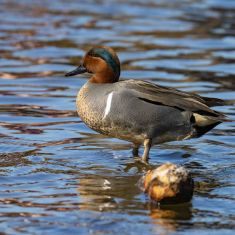 Green Winged Teal Photo by Ross MacDonald