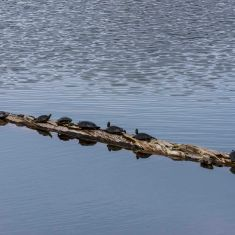 Painted Turtles Dorthy Pond,  Photo by Ross MacDonald