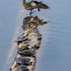 Painted Turtles and Duck Photo by Ross MacDonald