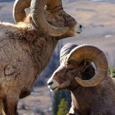 Rams at Radium Hot Springs, Photo by Ross MacDonald
