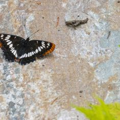White Admiral Butterfly Photo by Ross MacDonald