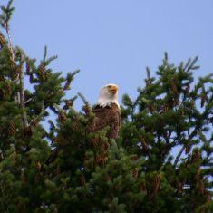 Bald Eagle - Photo by Hilda Jensen