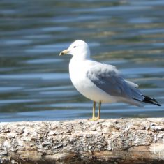 Ringed-bill Gull, Windermere Lake, Photo by Brian Wesley