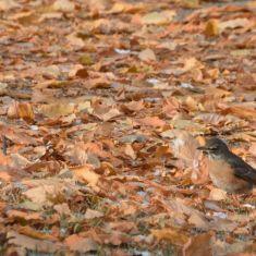 American Robin - Autumn colour change