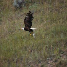 Bald Eagle photo by Hilda Jensen