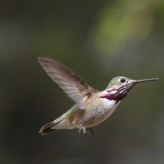 Calliope Humingbird - Larry Halverson