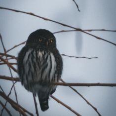 Owl Photo by Denise Hoffgaard