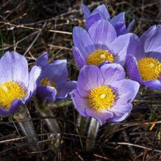 Spring Crocus Photo by Pat Morrow