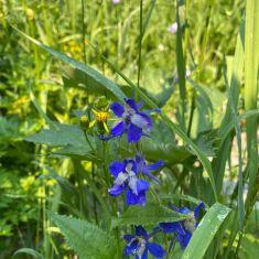 Wild Iris Photo by Hilda Jensen