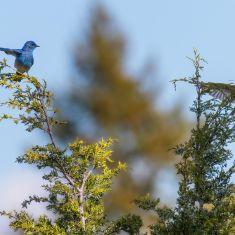 Blue Birds Photo by Ross MacDonald